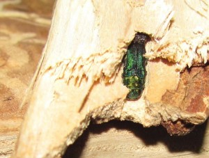 City of Ottawa's Approach to Address the Emerald Ash Borer
